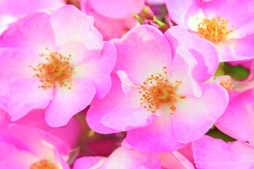 Divlja ruža u vašem vrtu